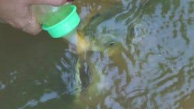 Carpa de alimentación de Koi con leche de la botella en una charca en la granja Pescados de alimentación de la carpa en granja de almacen de video