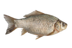 Carpa de Crucian dos peixes recentemente de água doce Fotos de Stock Royalty Free