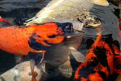 Carpa de Koi foto de stock royalty free
