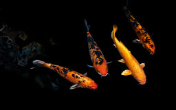 Carpa de Koi Fancy Imagem de Stock Royalty Free
