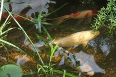 Carpa de los pescados en la piscina Fotografía de archivo