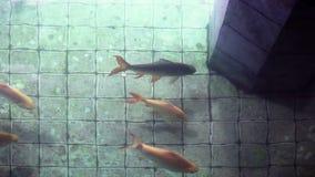 A carpa decorativa de Koi pesca na lagoa boa de desejo velha vídeos de arquivo