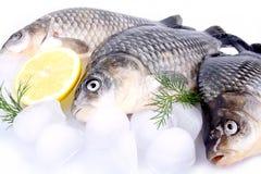 Carpa dei pesci freschi su un fondo e un ghiaccio e un limone bianchi Fotografia Stock Libera da Diritti