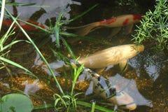 Carpa dei pesci nel raggruppamento Fotografia Stock