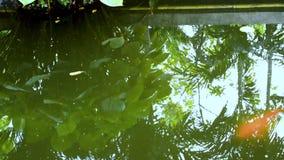 Carpa del oro, carpa de espejo o pescados del koi que nadan en la charca Pescados en un acuario Jardín con la charca y pescados q almacen de metraje de vídeo