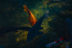 Carpa di nuoto nello stagno fotografia stock