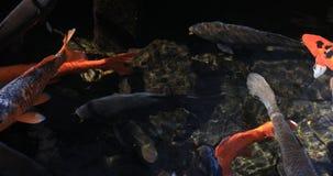 Carpa di nuoto nello stagno video d archivio