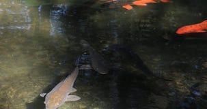 Carpa di nuoto nello stagno archivi video