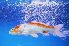A carpa do koi no aquário Imagem de Stock
