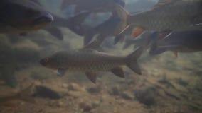 Carpa do ribeiro de Soro ou tiro do stracheyi de Neolissochilus do nome da ciência sob a água no parque nacional Chanthaburi de N video estoque