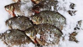 Carpa dos peixes foto de stock