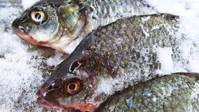 Carpa dos peixes foto de stock royalty free