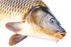 Carpa dos peixes imagens de stock