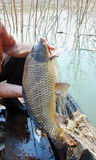 A carpa dourada de sete quilogramas, redes do rio Fotografia de Stock Royalty Free