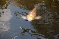Carpa giapponese che segue un poco pesce Fotografia Stock