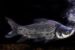 Carpa gigante siamese, pesce gigante della sbavatura, Tailandia sulla b bianca Immagine Stock