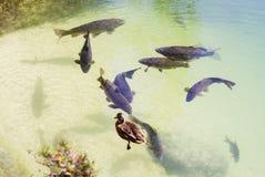Carpa grande que flota en el lago y el pato foto de archivo