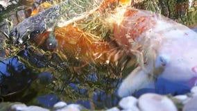 Carpa japonesa en la charca, un pescado más grande en la charca, charca ornamental El pescado brillante decorativo flota en una c almacen de video