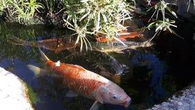Carpa japonesa en la charca, un pescado más grande en la charca, charca ornamental El pescado brillante decorativo flota en una c almacen de metraje de vídeo