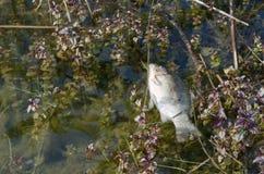Carpa muerta en el agua Fotografía de archivo libre de regalías