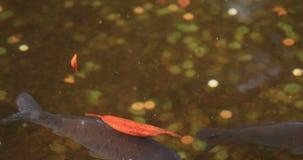 Carpa nadadora na lagoa no santuário de Hakone em Shizuoka Japão video estoque