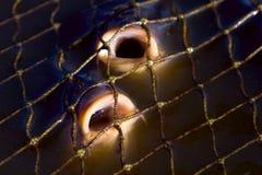 Carpa nelle reti da pesca Fotografie Stock Libere da Diritti
