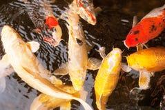 Carpa operata in acqua dolce Fotografie Stock Libere da Diritti