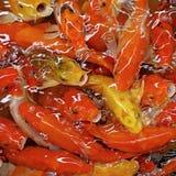 Carpa ou peixes extravagantes do koi Foto de Stock Royalty Free