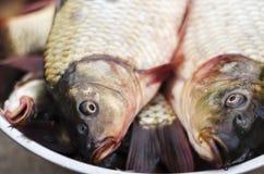 Carpa recién pescada en un cuenco imagenes de archivo