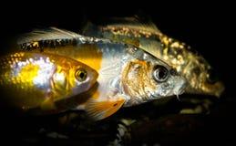 Carpa a specchi due e un pesce rosso Fotografia Stock