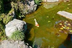Carpa a specchi in giardino giapponese Fotografia Stock