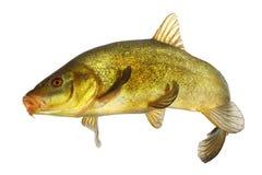 A carpa, tenca, coloriu os peixes que nadam livre Fotografia de Stock