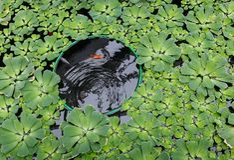 Carpa vermelha em uma lagoa Fotos de Stock Royalty Free