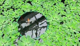 Carpa vermelha em uma lagoa Fotografia de Stock