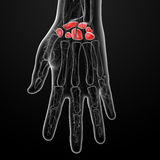 Carpal bones Royalty Free Stock Photo