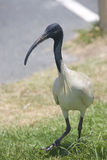 Carpark Ibis Stock Image