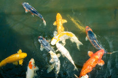 Colourful Koi  Royalty Free Stock Images