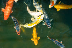 Koi Fish  Stock Photography