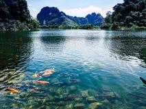 Carpas alaranjadas do koi no lago da água e montanhas no fundo fotos de stock