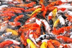 Carpas de alimentação do koi Fotografia de Stock