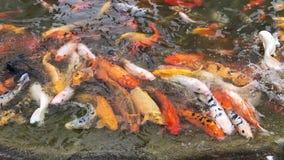 Carpas de Koi que aprietan junto la competición para la comida, centenares de pescados de lujo del koi de la carpa en la piscina, almacen de metraje de vídeo