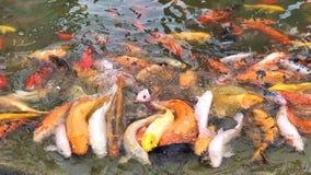 Carpas de Koi que aprietan junto la competici?n para la comida, centenares de pescados de lujo del koi de la carpa en la piscina, almacen de video
