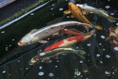 Carpas de Koi que nadam no aquário Foto de Stock