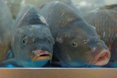 Carpas en el acuario Imagen de archivo libre de regalías