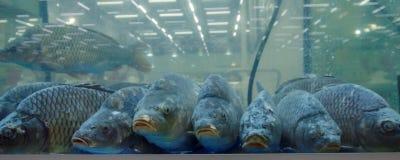 Carpas en el acuario Foto de archivo