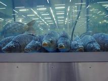 Carpas en el acuario Imágenes de archivo libres de regalías