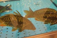 Carpas en nadada del acuario fotografía de archivo libre de regalías