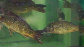 Carpas grandes en el acuario en mercado de pescados almacen de video
