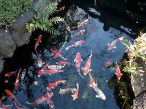 Carpas japonesas da cor foto de stock
