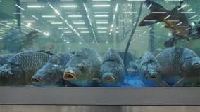 Carpas no aquário video estoque